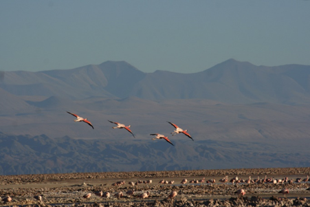 atacama-chile-birds
