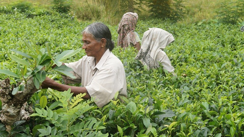 sri lanka tea picker