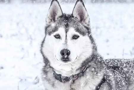 Huskey Snow Dog
